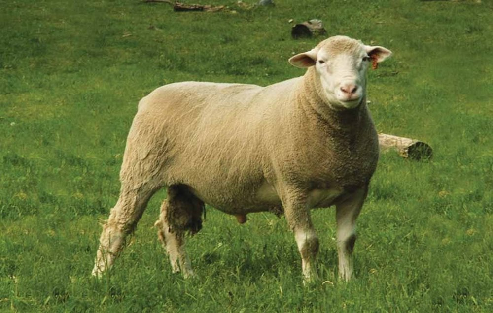 Sheep Breeds