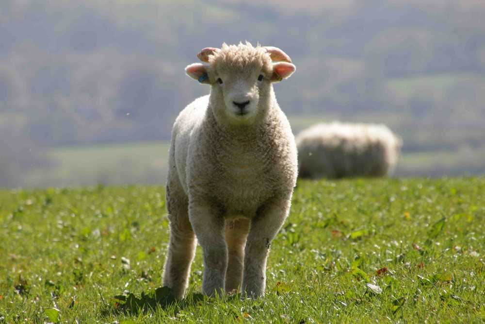 Facts about British sheep breeds and British wool
