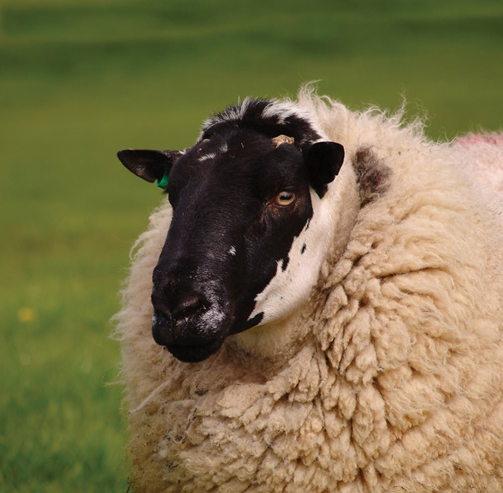 Our services to the UK sheep sector
