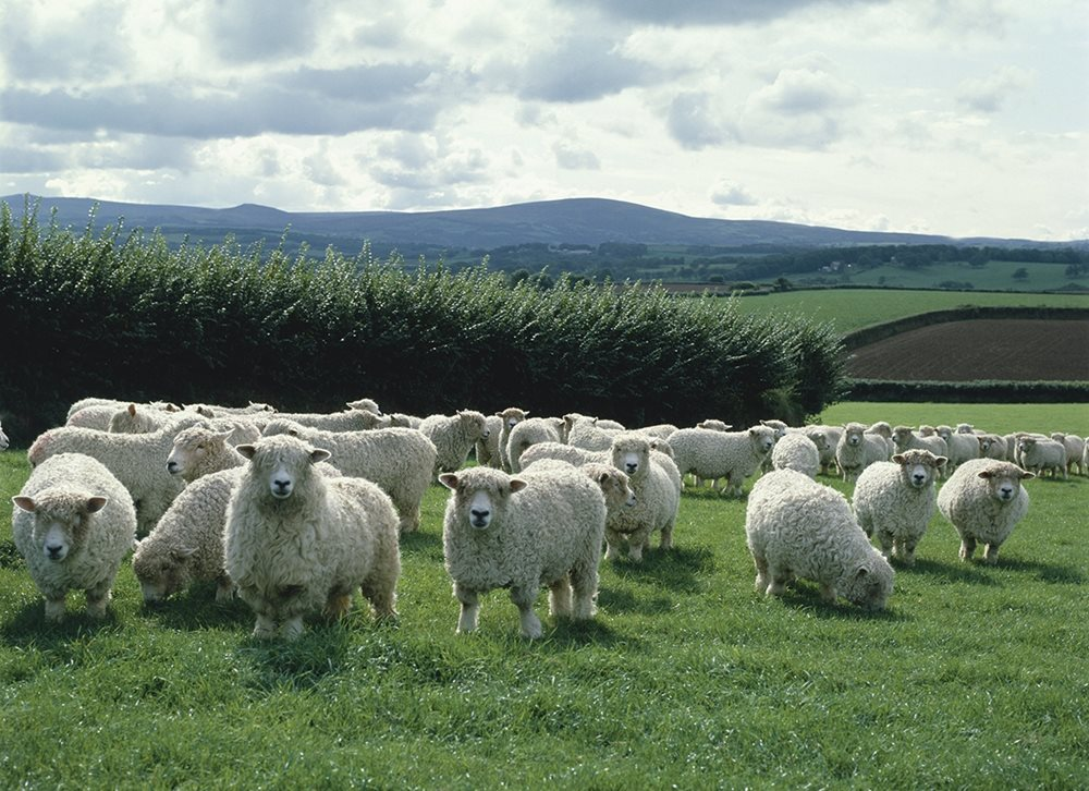 British wool is sold at auctions in Bradford