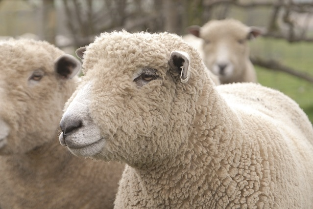 The history of British wool