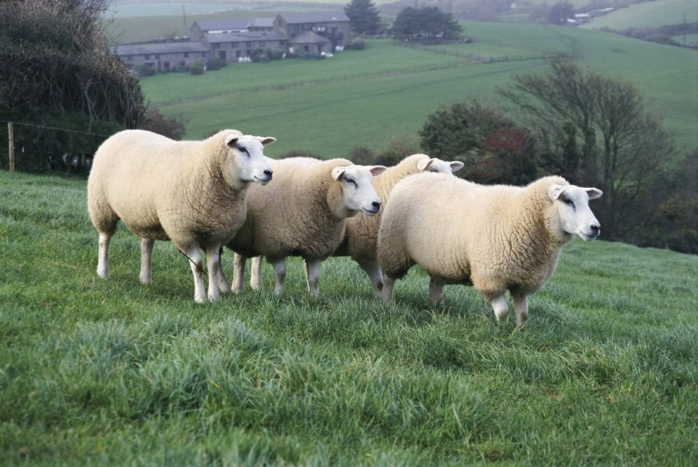British Wool pays more for your wool