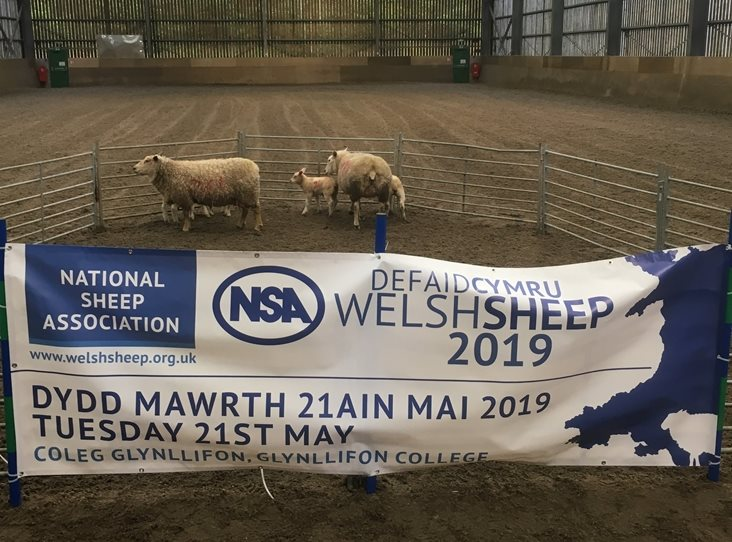 NSA Welsh Sheep
