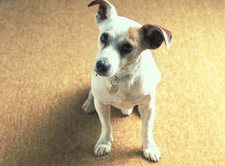 Wool carpets help prevent pet odours