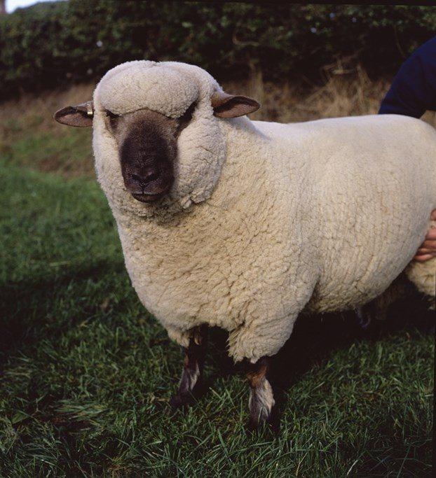 British Sheep Breeds British Wool