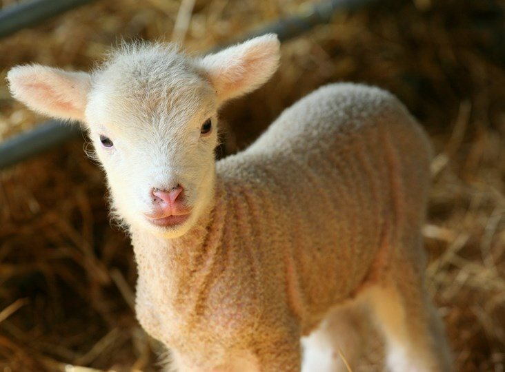 Romney Marsh Wools: lambing - our favourite time of the year
