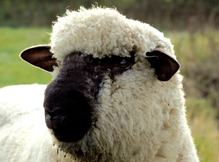 British Wool: soft, sumptuous, sustainable